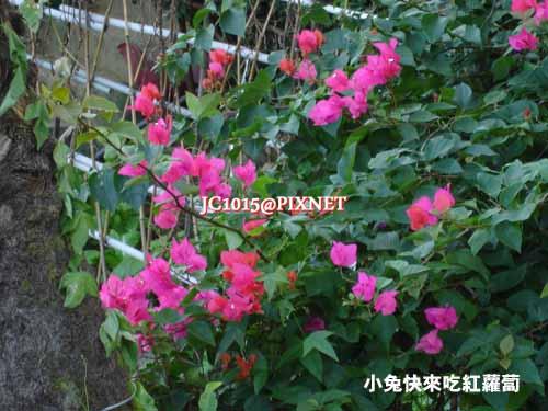 九重葛,別名:南美紫茉莉、刺仔花、洋紫茉莉、紫藤、龜花、葉子花、葉似花、三角梅、三角花