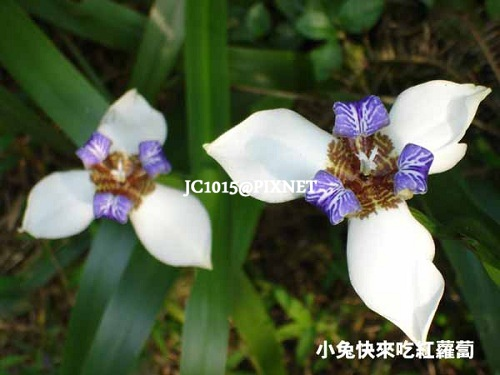 巴西鳶尾,別名:馬蝶花、鳶尾蘭、玉蝴蝶