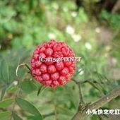 大粉撲花(美洲合歡),別名:紅絨毬、朱纓花