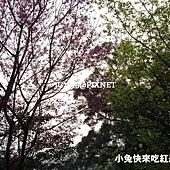 山櫻花‧緋寒櫻