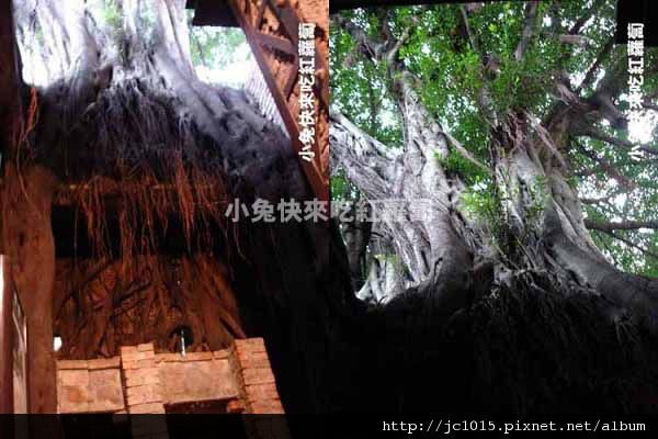 DSC05728_榕樹.JPG