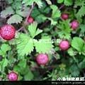 DSC05649_蛇莓.JPG