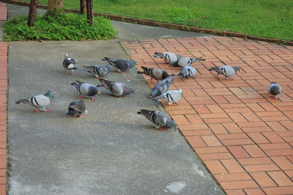 鴿子耶,還是吃飯的鴿子