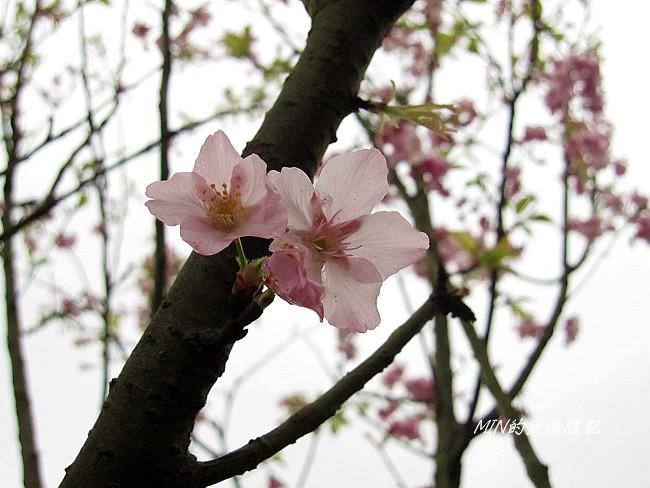 三芝櫻花 (1)