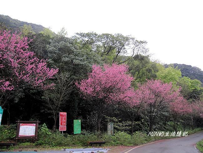 三芝櫻花 (2)