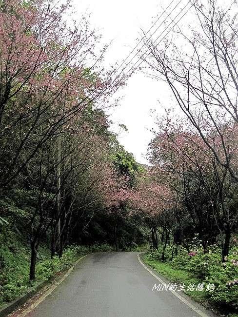 三芝櫻花 (3)