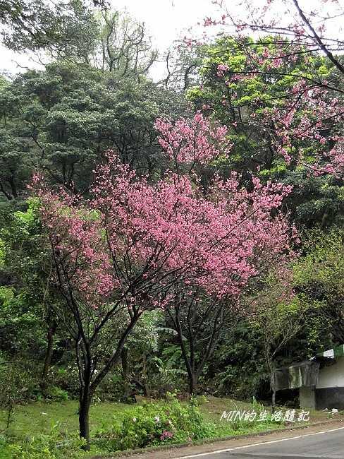三芝櫻花 (4)