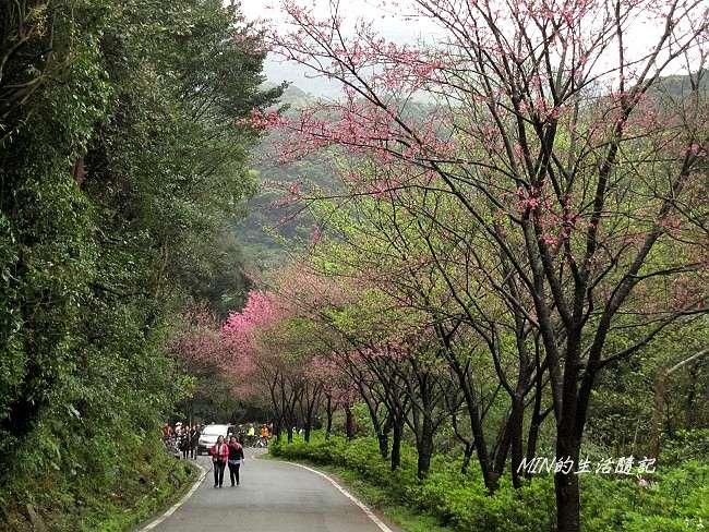 三芝櫻花 (5)