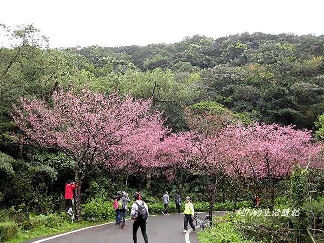 三芝櫻花 (6)
