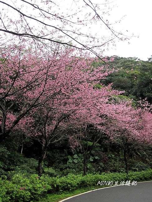 三芝櫻花 (7)
