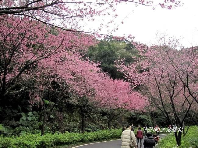 三芝櫻花 (8)