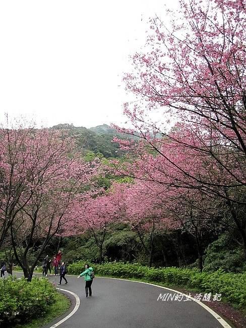 三芝櫻花 (9)