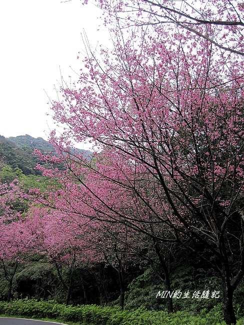 三芝櫻花 (10)