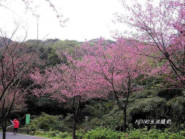 三芝櫻花 (11)