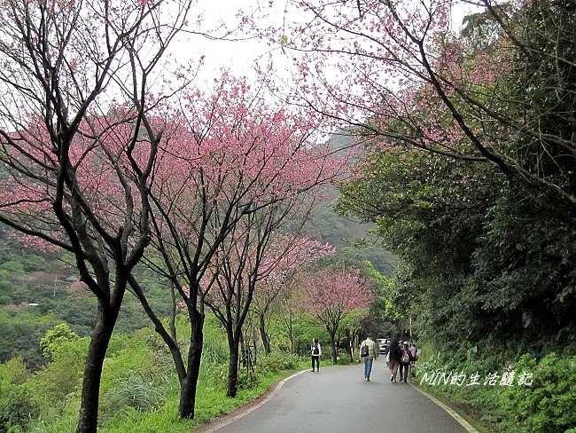 三芝櫻花 (12)