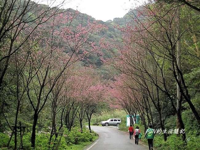三芝櫻花 (13)