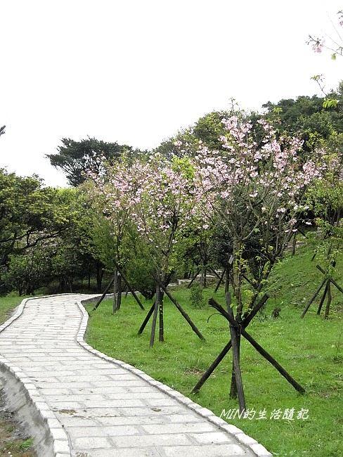 三芝櫻花 (17)