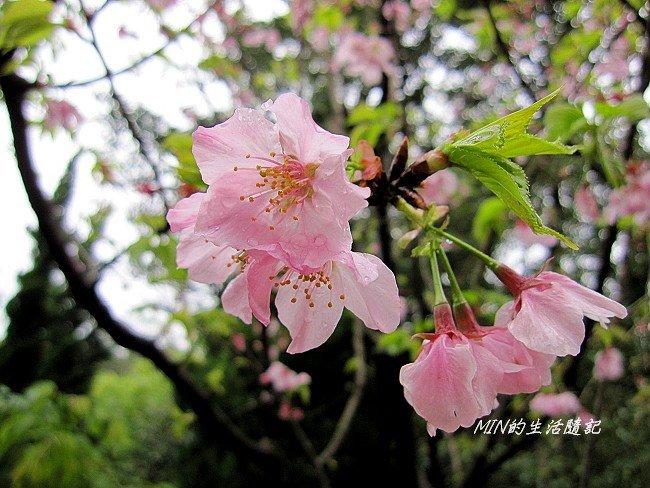 三芝櫻花 (18)