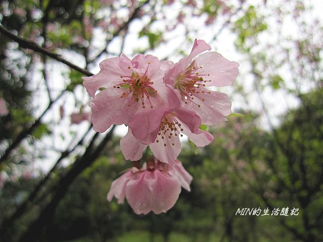 三芝櫻花 (19)