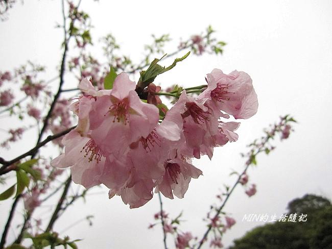 三芝櫻花 (20)