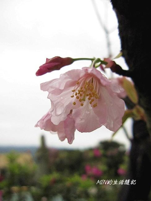 三芝櫻花 (21)