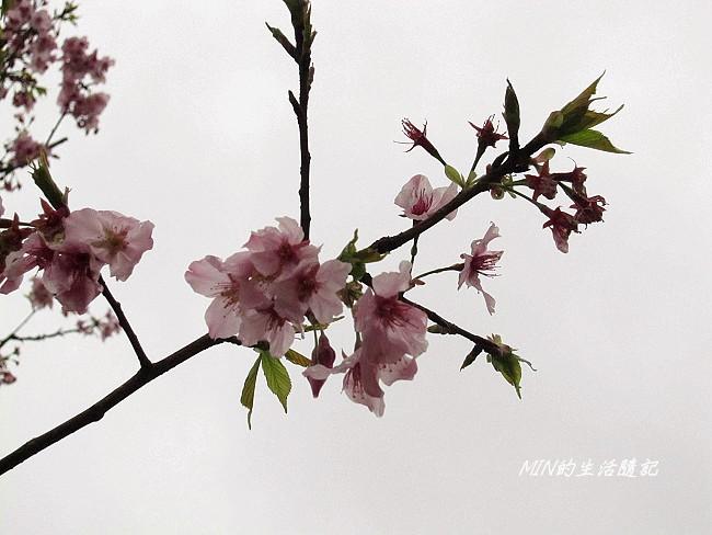 三芝櫻花 (23)