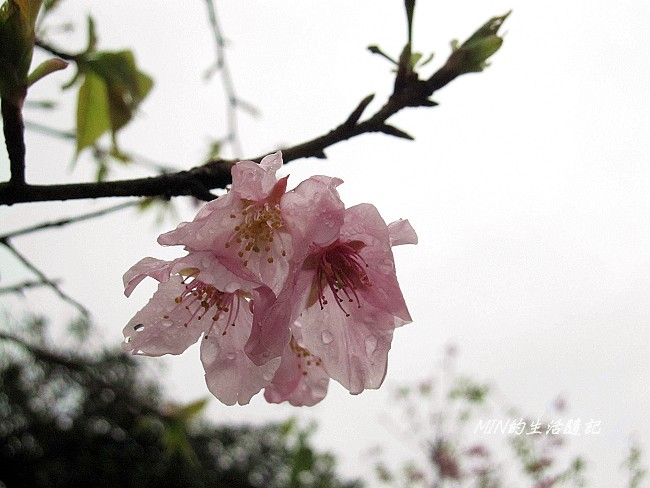 三芝櫻花 (24)
