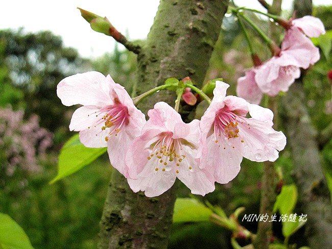 三芝櫻花 (25)