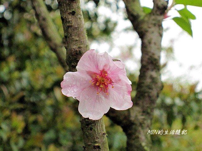 三芝櫻花 (26)