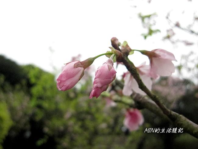 三芝櫻花 (28)
