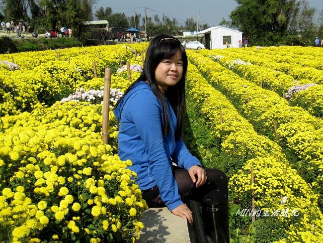 銅鑼杭菊 (54)