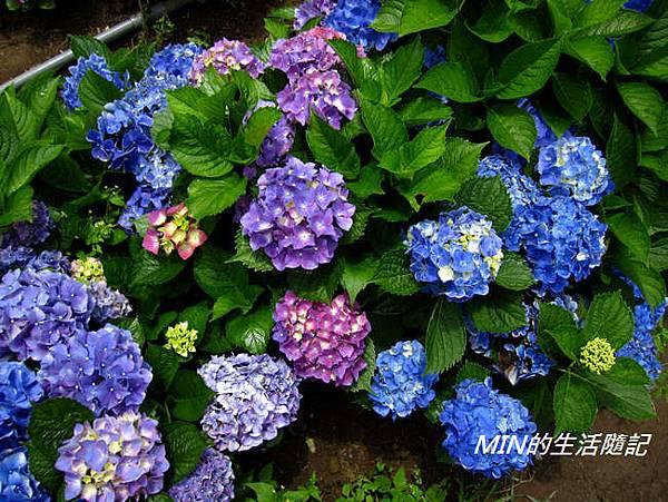 陽明山繡球花(1)