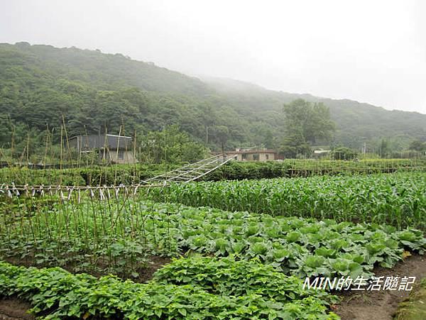 陽明山繡球花(7)