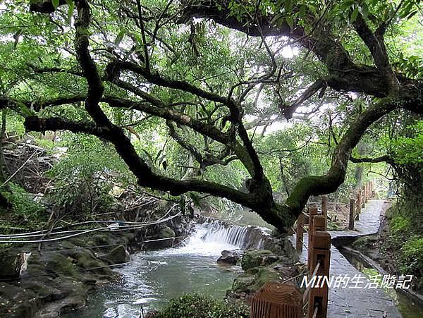 陽明山繡球花(10)