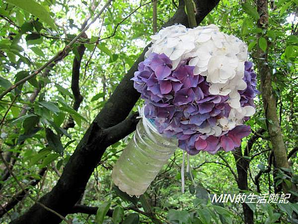 陽明山繡球花(14)
