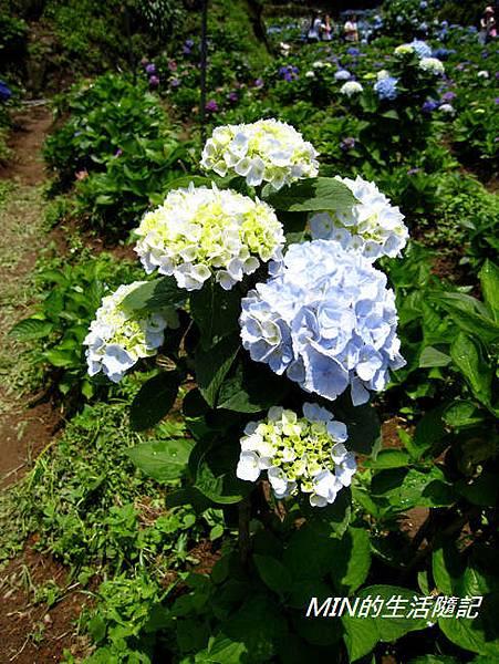 陽明山繡球花(15)
