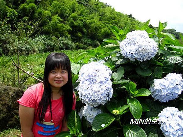 陽明山繡球花(16)