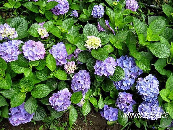 陽明山繡球花(18)