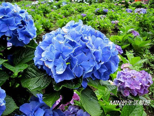 陽明山繡球花(22)