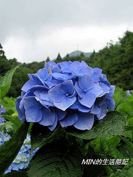 陽明山繡球花(23)