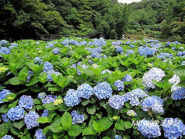 陽明山繡球花(24)
