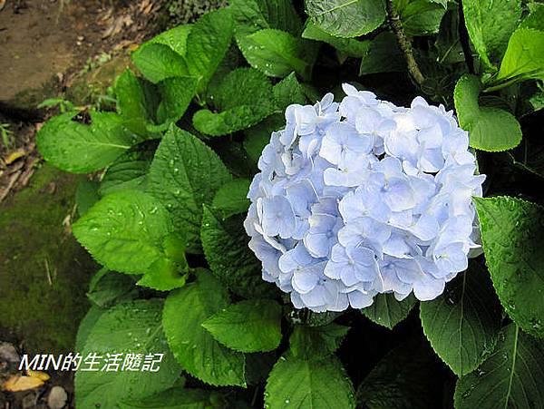 陽明山繡球花(25)