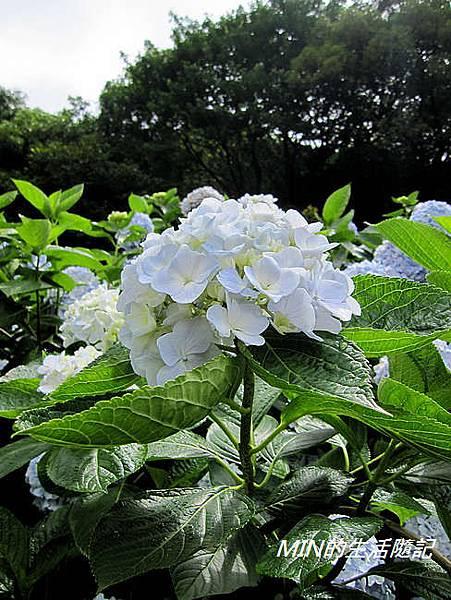 陽明山繡球花(26)