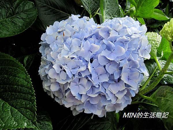 陽明山繡球花(27)