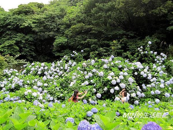 陽明山繡球花(28)