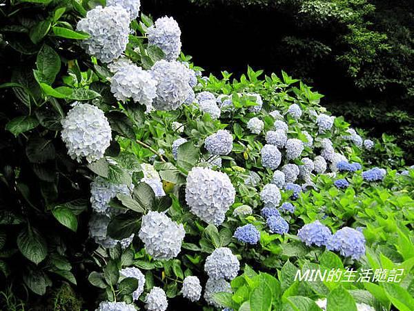 陽明山繡球花(29)