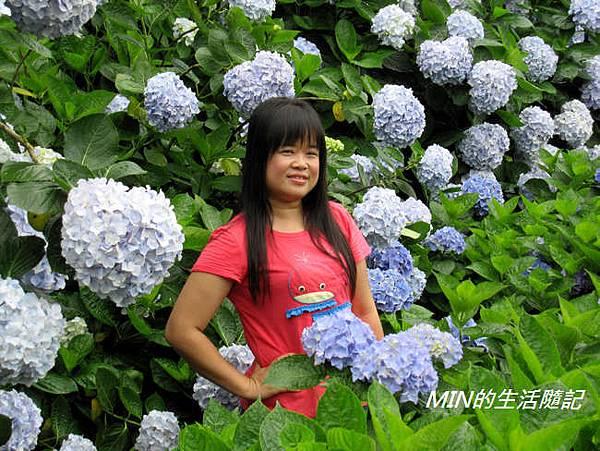 陽明山繡球花(31)