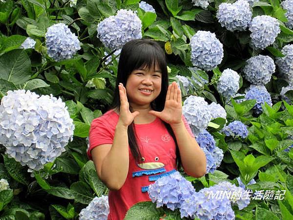 陽明山繡球花(32)