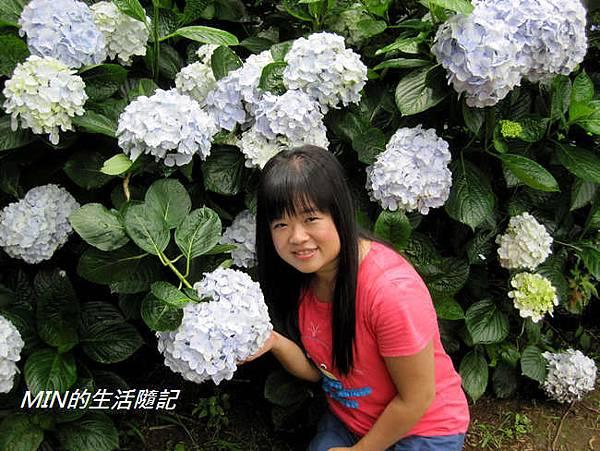 陽明山繡球花(33)