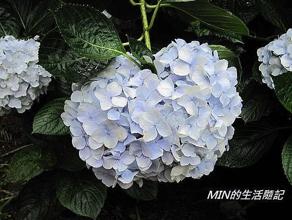 陽明山繡球花(34)